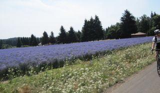 080109_sat_lavender